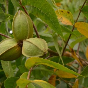 Pecans beginning to ripen