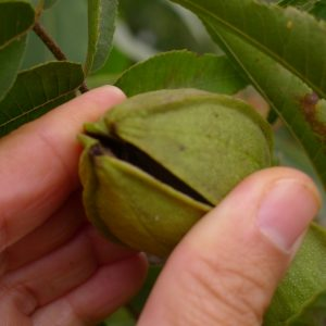 Checking for pecan ripeness